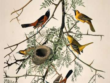The Birds of America, Plate 42, Orchard Oriole