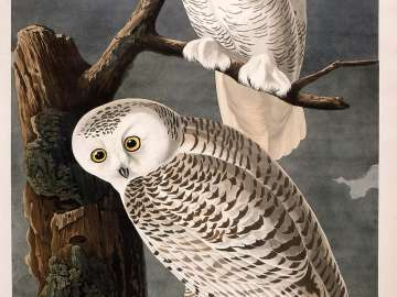 The Birds of America, Plate 121, Snowy Owl