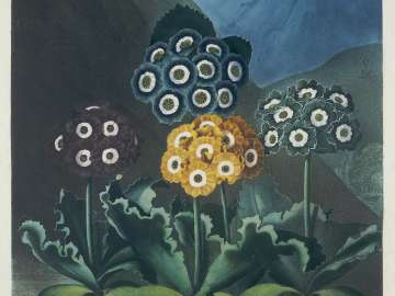 A Group of Auriculas (Pl. 9 from Dr. Robert John Thornton,
