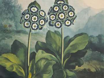 A Group of Auriculas (2): Cockups Elipse and Privateer. (Pl. 9 from Dr. Robert John Thornton,