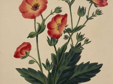 Potentilla Hopwoodiana (Rose family) (possibly from Joseph Paxton, ed.