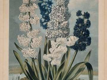 Hyacinths (Hyacinthus orientalis) (Pl. 6 from Dr. Robert John Thornton,