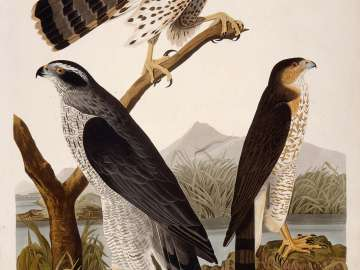 The Birds of America, Plate 141, Goshawk