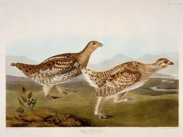 The Birds of America, Plate 382, Sharp-tailed Grous