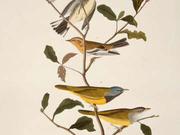 The Birds of America, Plate 399, Blackburnian