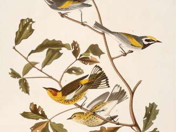 The Birds of America, Plate 414, Cape May Warbler