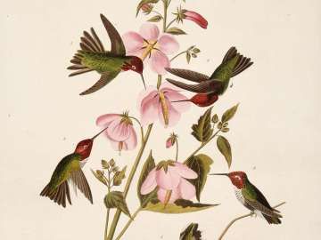 The Birds of America, Plate 425, Columbian Humming Bird