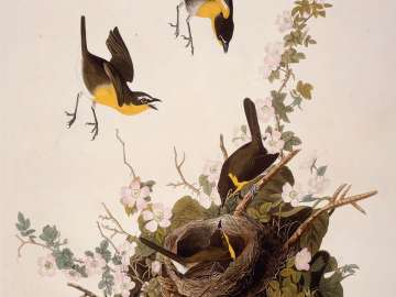 The Birds of America, Plate 137, Yellow-breasted Chat