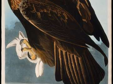 The Birds of America, Plate 181, Golden Eagle