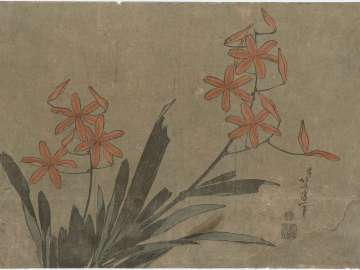 Blackberry Lily, from an untitled series known as Large Flowers