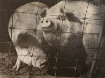 Untitled (Pigs)