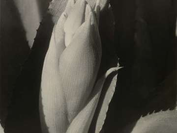 Exploding Bud (Billbergia)