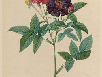 Rosa Gallica Purpurea Velutina, Parva (From Redouté,