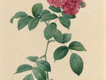 Rosa multiflora platyphylla (From Redouté,