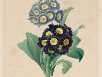 Oreilles d'Ours-Primula auricula ( from Redouté,