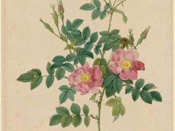 Rosa Rubiginosa flore semi-pleno (From Redouté,