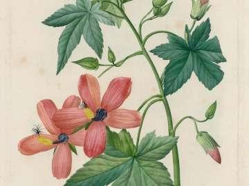 Lavatera Phoenicea/ Hibiscus  from Redouté, Choix des...Fleurs
