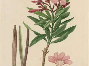 Nerium Oleander/ Nerion Laurier-rose (Common oleander: Rose Bay) (From Vol. V, 1812 of Redouté,