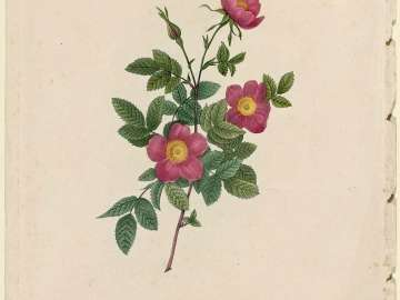 Rosa Alpina vulgaris (From Redouté,