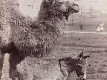 Camel and donkey