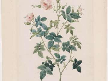 Rosa Parvi-flora (Rosier à Petites Fleurs) (Double Flowered Carolina Rose) Plate 92 from