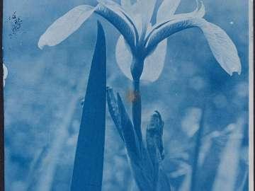 Iris(?)