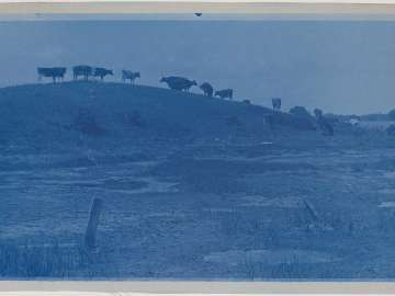Cows on a Ridge
