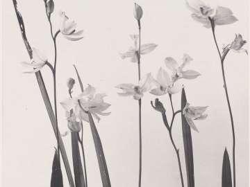 Calopogon pulchellus. Linodorum tuberosum. Grass prink. Calopogon,