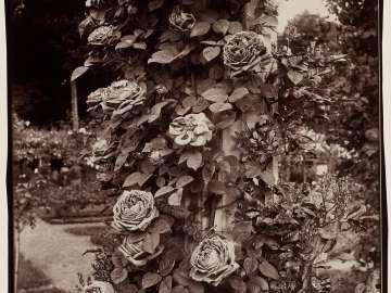 Roses at L'Haÿ