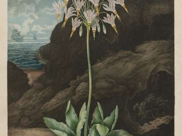 The American Cowslip (Pl. 26 from Dr. Robert John Thornton,