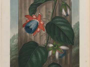 The Winged Passion Flower (Pl. 18 from Dr. Robert John Thornton,