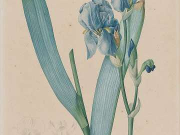 Dalmatian Iris (Iris pallida), plate 366, vol. 7 of Pierre-Joseph Redouté,