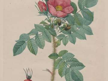 Kamtschatka Rose (Rosa Kamtschatica), from Redouté,