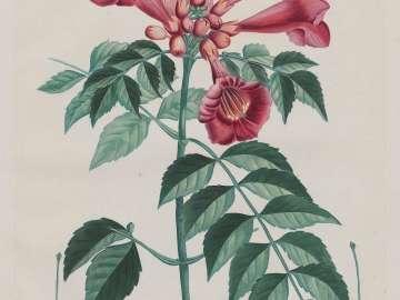 Trumpet Vine (Tecoma radicans/ Tecoma de Virginie) (Campsis radicans