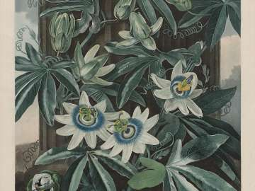 The Blue Passion Flower (Passiflora caerula) (Pl. 17 from Dr. Robert John Thornton,