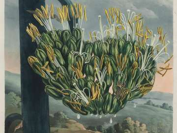 The American Aloe (Pl. 12 from Dr. Robert John Thornton,