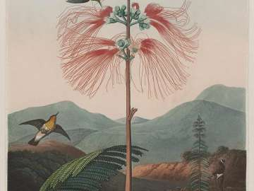 Large Flowering Sensitive Plant (Pl. 16 from Dr. Robert John Thornton,