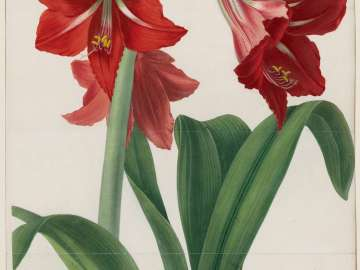 Hybrid Amaryllis Regina vittata (Pl.1 , vol. 5 of Transactions of the Horticultural Society of London...published London 1805–1848)