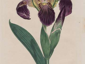 Dingy Flag Iris (Iris Lurida), plate 669 from William Curtis, The Botanical Magazine; or  Flower Garden Displayed, London, 1803.