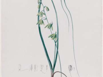 Albuca (Albuca minor)