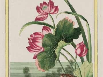 Lotus with Frog, Plate XXIII from Part I (Plants of China) of Pierre-Joseph Buchoz, Collection Précieuse et Enluminée des fleurs les plus belles et les plus curieuses, qui se cultivent tant dans les jardins de la Chine que dans ceux de l'Europe.