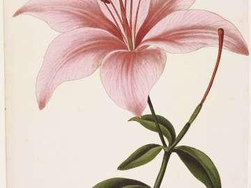 Lilium aurantiacum (possibly from Joseph Paxton, ed.