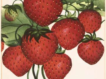 Wilson's Albany (Strawberries) from D.M. Dewey, Nurseryman's Pocket Book of Specimen Fruit and Flowers, 1875