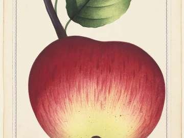Duchess of Oldenburg - (apple)