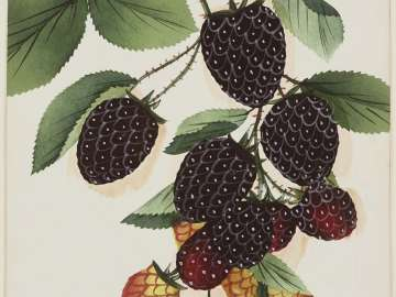 Dorchester - (blackberries)