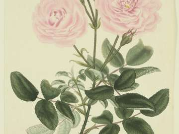 Rosa, Provincialis blanda  (From ROSES; or a monograph of the genus Rosa...H. C. Andrews. London 1805–28.