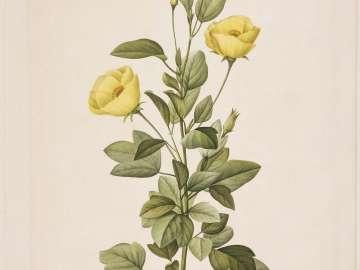 Redutea heterophylla ( from Redouté,