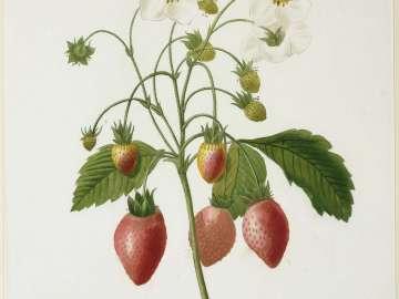 Fraisier à Bouquets From P. J. Redouté, Choix des Plus Belles Fleurs.. (Paris, Panckoucke, et al...1827)