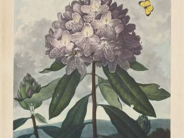 The Pontic Rhododendron (Pl. 25 from Dr. Robert John Thornton,