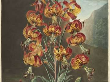 The Superb Lily (Lilium Superbum) plate B (Pl.21 from Dr. Robert John Thornton,